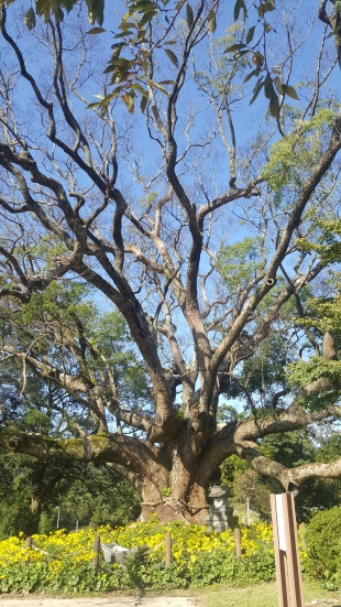 1000-year old camphor tree