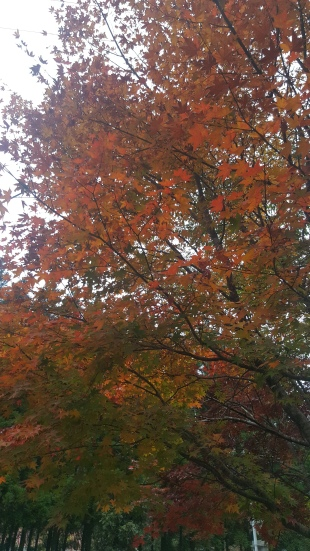 colorful maple leaves in Itsuki
